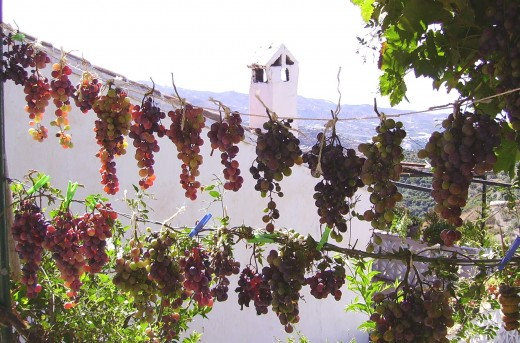 Hang your bunches of grapes on a string / robe. That way they will get light and air from all sides.