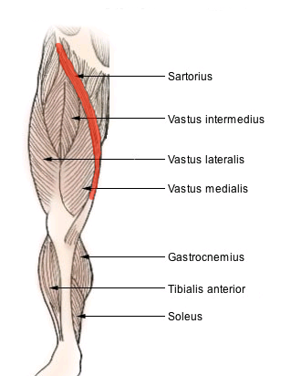 Diagram of muscles in the leg with the longest muscle in red - the sartorius