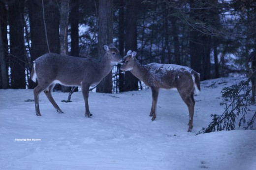 A doe licks the face of a young deer, snow still on its back, just up from its bed this morning.