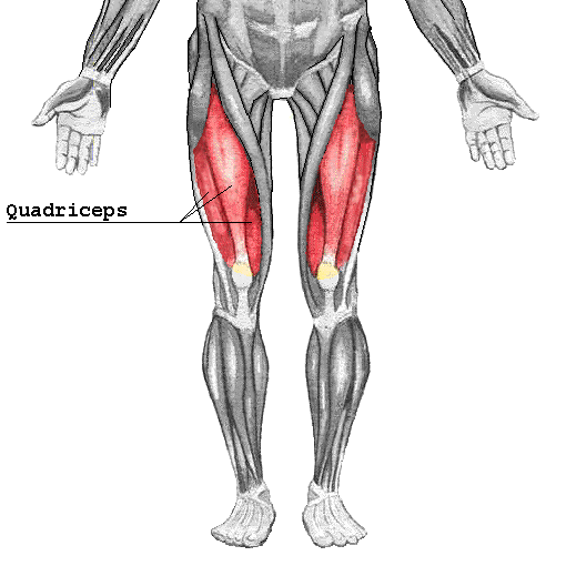 Diagram of muscles in the leg with the largest muscle in red - the quadriceps