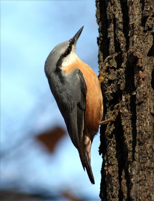 The nuthatch is a colourful visitor to the locality.
