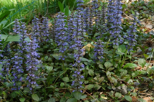 This member of the mint family-Ajuga {bugle} makes a striking late spring display. Photograph courtesy of EnLorax
