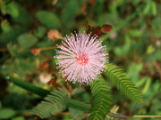 Mimosa pudica  Source: Wikipedia