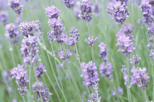 Wild Lavender Flowers