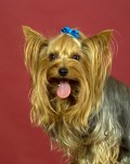 Get to Know the Yorkshire Terrier (Yorkie) - Intelligent Dogs with BIG Personalities!