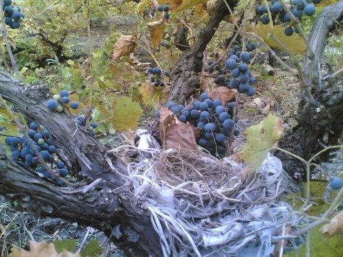 A bird nest found while gathering the grapes