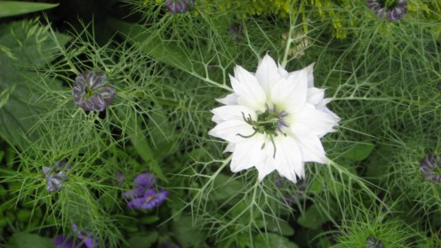 photo: Love-in-a-mist.