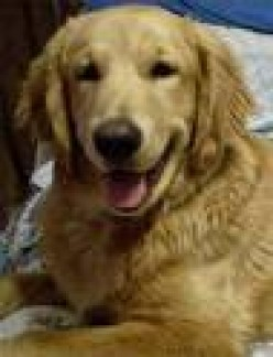Goldens are people dogs, very sociable and well-behaved once trained.
