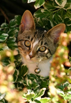 Do You Hear What I Hear!? Common Cat Ear Disorders Including Mites, Inner Ear Infections and Even Sunburn!