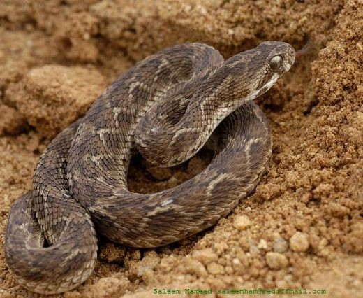 7) Saw Scaled Viper (Echis carinatus ), Middle East Asia.