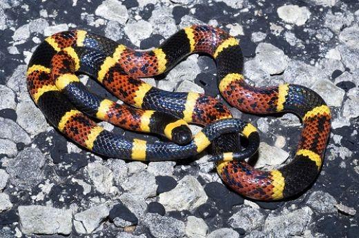 8) Coral Snake (Micrurus fulvius ), North America