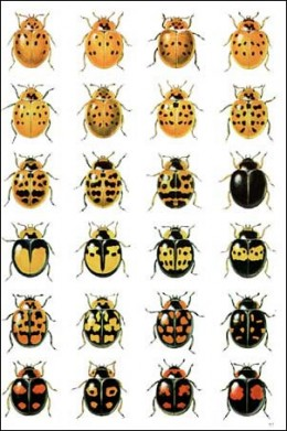 some of the different colours of the harlequin ladybird