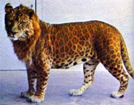 A Leopon is the result of breeding a male leopard and a female lion. The head of the animal is similar to that of a lion while the rest of the bodies carries similarities to leopards