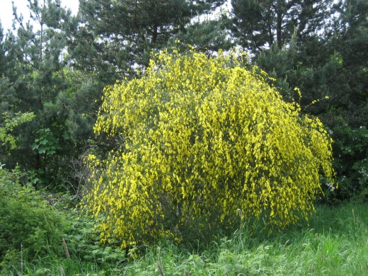 The broom in flower is an impressive shrub. It enhances any locality. photograph courtesy of M.P.F.