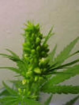 male marijuana
