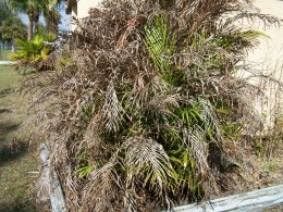 This once full and graceful Areca palm has been devastated by the freeze in December.