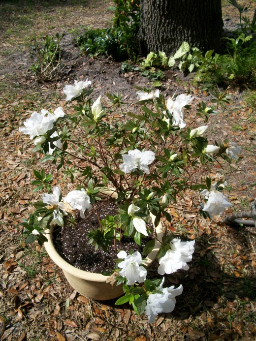 A bonsai trained azalea in full bloom. Azaleas love the cooler time of year.