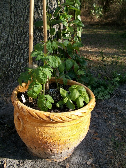 Tomatoes and basil in a large pot. Unless you enrich the sandy native soil, tomatoes (heavy feeders) won't thrive but a large pot works well.
