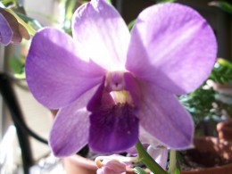 Is any flower more sensuous than the orchid? A purple bloom that will last for 6 - 8 weeks.