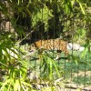 Will the Currently Endangered Tiger Become Extinct Before the Next Year of the Tiger?