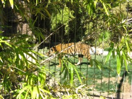 Tiger on prowl in its cage in Tucson's Reid Park Zoo