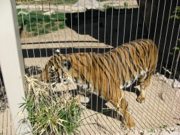 Tiger viewing visitors in Tucson's Reid Park Zoo