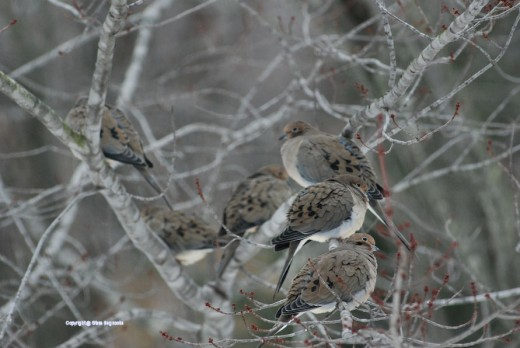 Doves were the first to claim branches in the maple close to the feeders this morning.