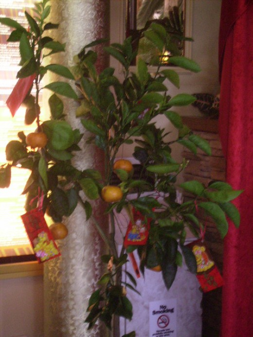 Orange tree with oranges - traditional Chinese New Year Fruit and red Lai See envelopes for gifts of money.