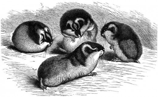 An early naturalist's sketches of Norway Lemmings. They are pretty cute.