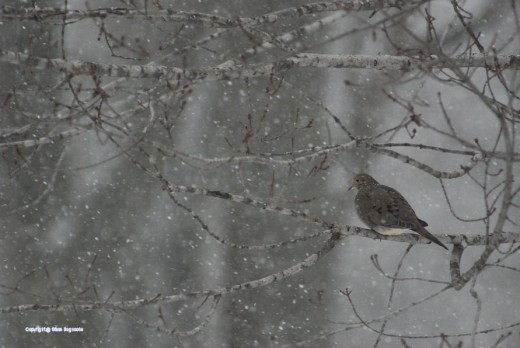 A dove sits quietly as snow falls today.