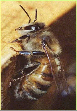 see the small insect....Honey bee