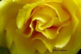 yellow rose, the original photo
