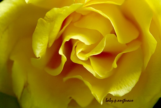 yellow rose, the original photo