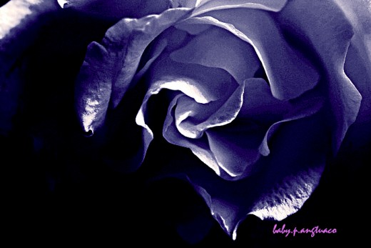 manipulated black rose