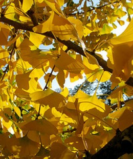 Ginkgo courtesy of Puzzler4879 and Flickr