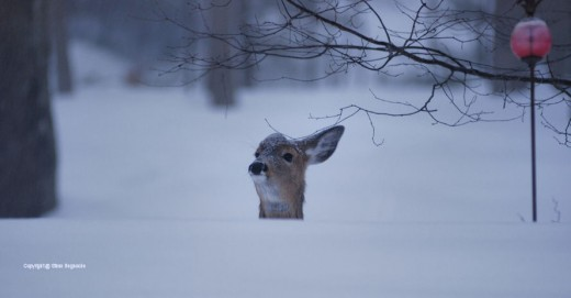 A deer peers into the backyard directly behind the house from behind the downslope side of a terrace in the yard.