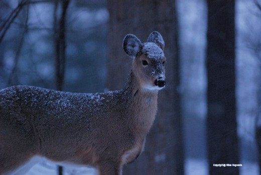 Snow accumulates on the forehead and ears of the deer.