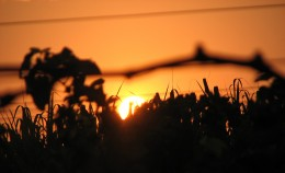 Sunrise across a corn field.