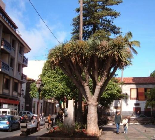 A Dragon Tree in La Laguna