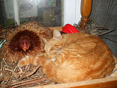 Hens can make good pets as long as they know their place!