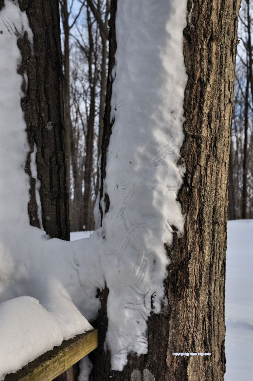 Squirrels scraped tracks in snow on the side of an oak tree.