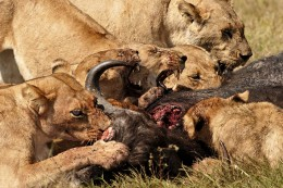 LIONS EATING BUFFALO