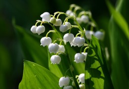 Delicate lily-of-the-valley is one of the classic spring wedding flowers.