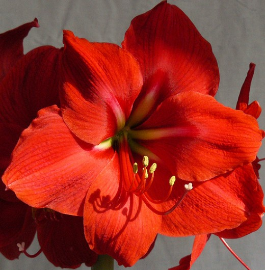 Showy tropical flowers like amaryllis are in season for winter weddings.