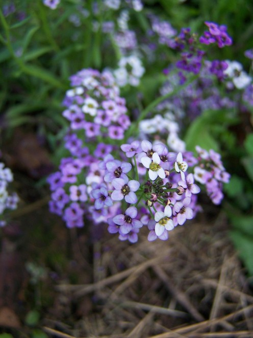 'Royal Carpet' Alyssum
