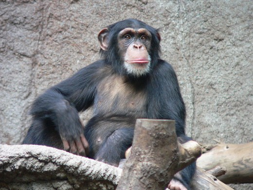 Chimpanzee  Humans share 98 percent of genetic material with chimpanzees. Humans are more related to apes than apes are to monkeys. Image Credit: Thomas Lersch, Wikipedia
