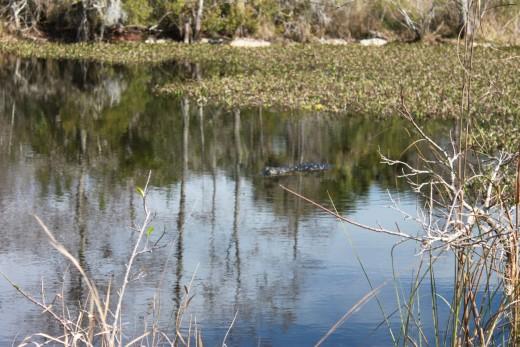 Swimming alligator off Alligator Alley