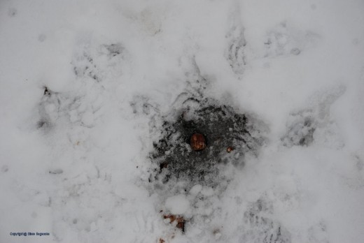 A squirrel worked to get at the meat of this acorn frozen in a parking area atop the hill.