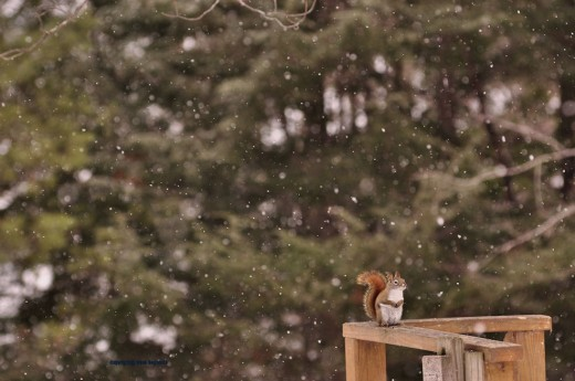 A red squirrel scolds me in the quiet of a noon snow.