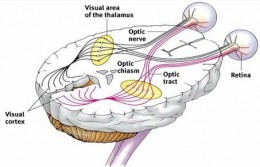 The occipital lobe of the brain at the back, is where the visual cortex is located. The pathway  is complex with crossing-over of nerves.